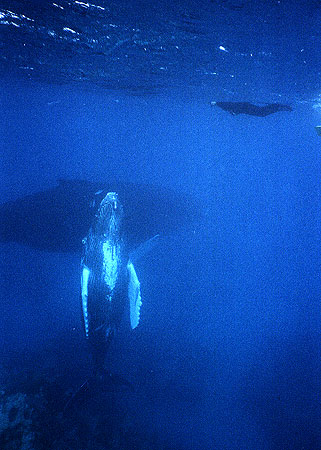 Whale rises to greet a swimmer