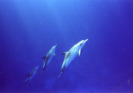 Pan-Tropic Spotted Dophins, Lisa Denning