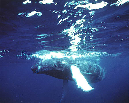 2001, Lisa Denning. Underwater photographer, Dolphin House, Hawaii. The Humpback Whale in the Caribbean.