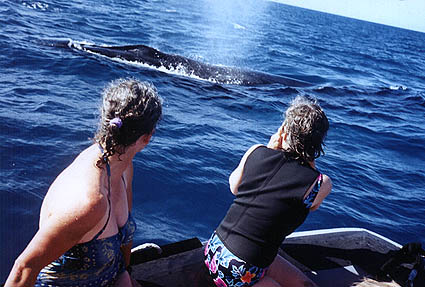 Humpbacks in the Caribbean.