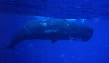 Sperm whale says hello
