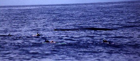 Sperm whale meets swimmers, Hawaii
