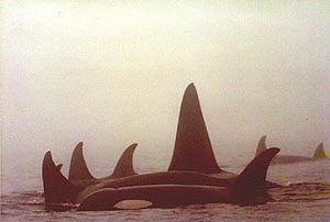 Orcas in the mist